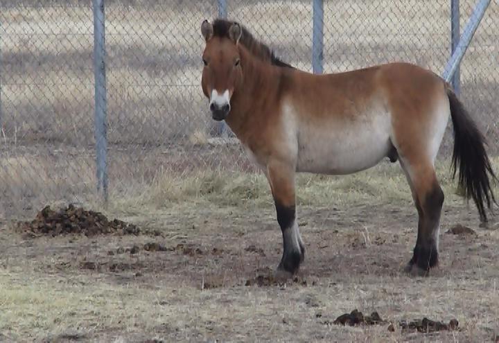 Путин выпустил взаповедник лошадей Пржевальского