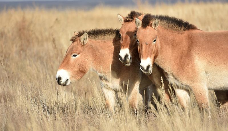 Оренбургский заповедник был дополнен 16 лошадями Пржевальского