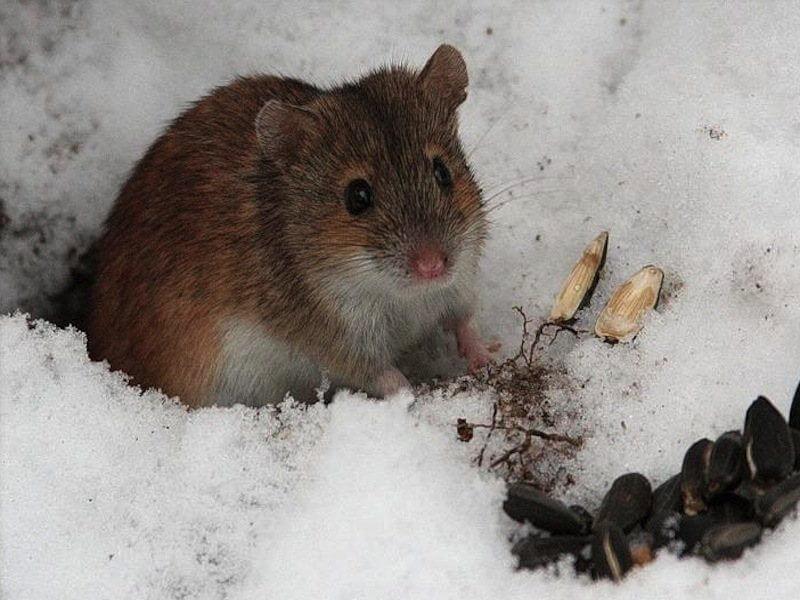 степях, картинки мышей на снегу фото встречного