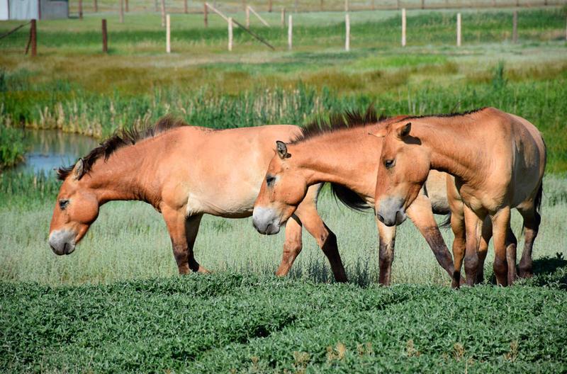Новейшую группу лошадей Пржевальского выпустят иззагона вОренбургский заповедник