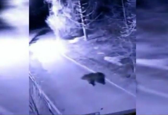 Разгуливающий впарке медведь попал навидео